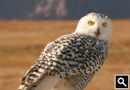 Perching Snowy Owl