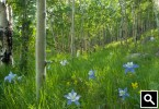 Columbines in Clear Creek County