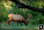 Bull Elk in the grass