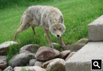 Coyote Looking into the LabJack door
